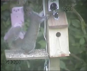 GB3WB Squirrel In Action