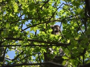 SAM_0478 (GB3WB Tawny Owl In Her Day Time Tree April 2015)