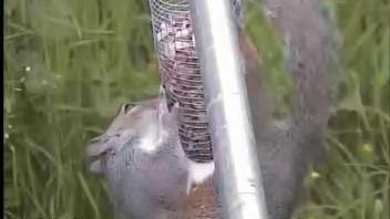 GB3WE Squirrel Still Trying!