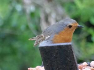 GB3WE Robin