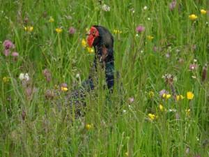 GB3WB Pheasant